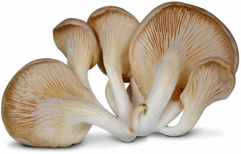Как варить грибы вешенки